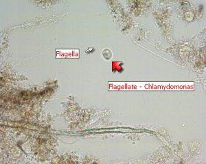 Flagellate - Chlamydomonas