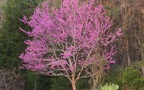 Image of blooming redbud tree